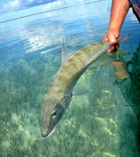 Bonefish on the flats of the Turks and Caicos Islands