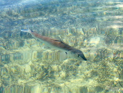 Bonefish in the clear waters of the Turks and Caicos Islands